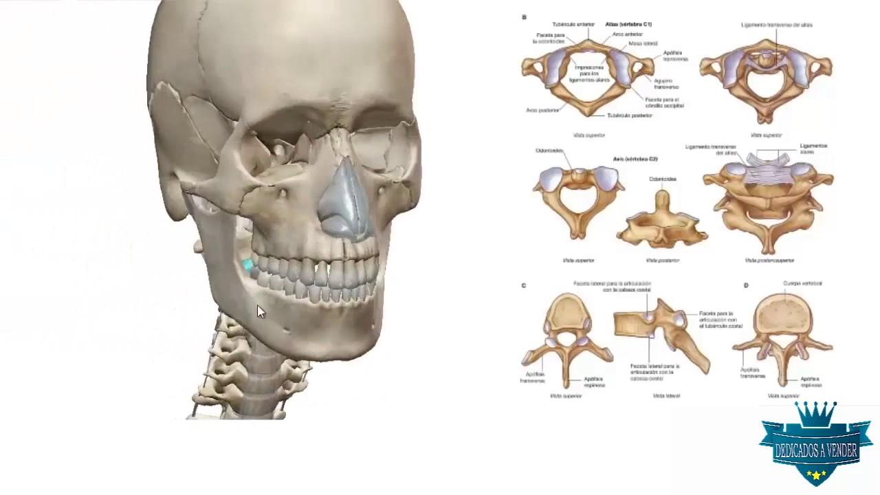 Atlas de Anatomia 3D - YouTube