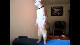 Кот слушает гимн России