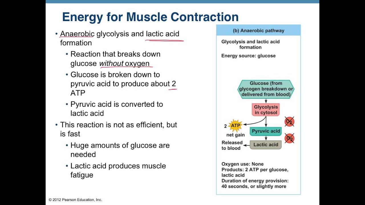 The Energy Source For Muscle Contraction Is - Ace Energy