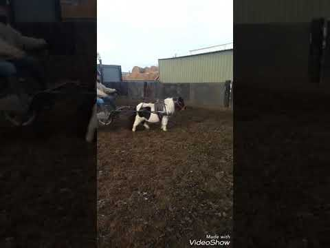 ride and drive shetland mare