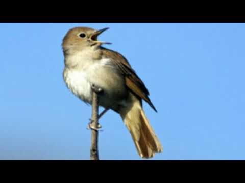 Luscinia Megarhynchos - Nightingale