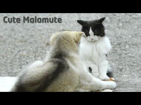 Alaskan Malamute puppy vs Norwegian Forest Cat