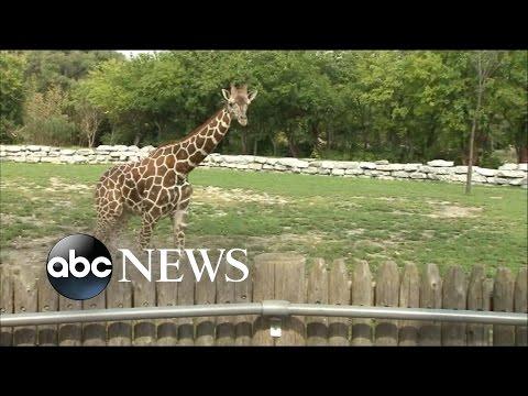Giraffes in Danger of Becoming Extinct in the Wild: Study