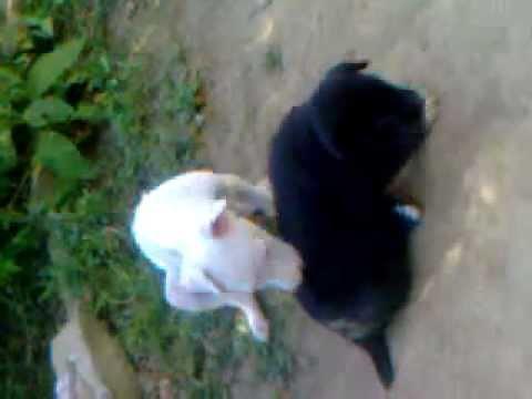 gulterr and bakarwal pups