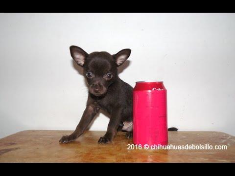 Cachorra Chihuahua Tacita color Tabaco Disponible - Julio 2017из YouTube · Длительность: 47 с  · Просмотров: 409 · отправлено: 25.07.2017 · кем отправлено: Chihuahuas de Bolsillo