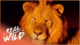 Lions Living In The African Wilderness | Wild About S1 EP1 | Real Wild
