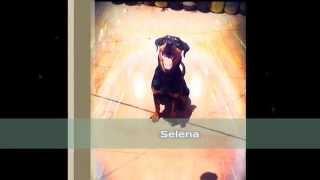 "Rottweiler Américain ""selena"""