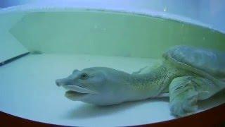 аквариумная Дальневосточная черепаха, или китайский трионикс