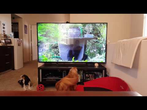 Barks at cats on screen - Cavalier King Charles Spaniel