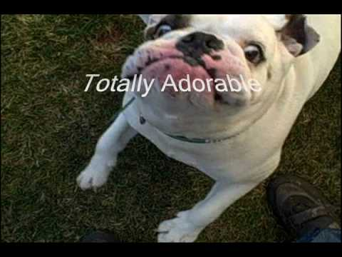bulldog smiling smiling bulldog youtube 9433