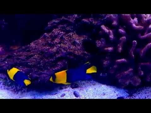 Bicolor Angelfish, Centropyge Bicolor