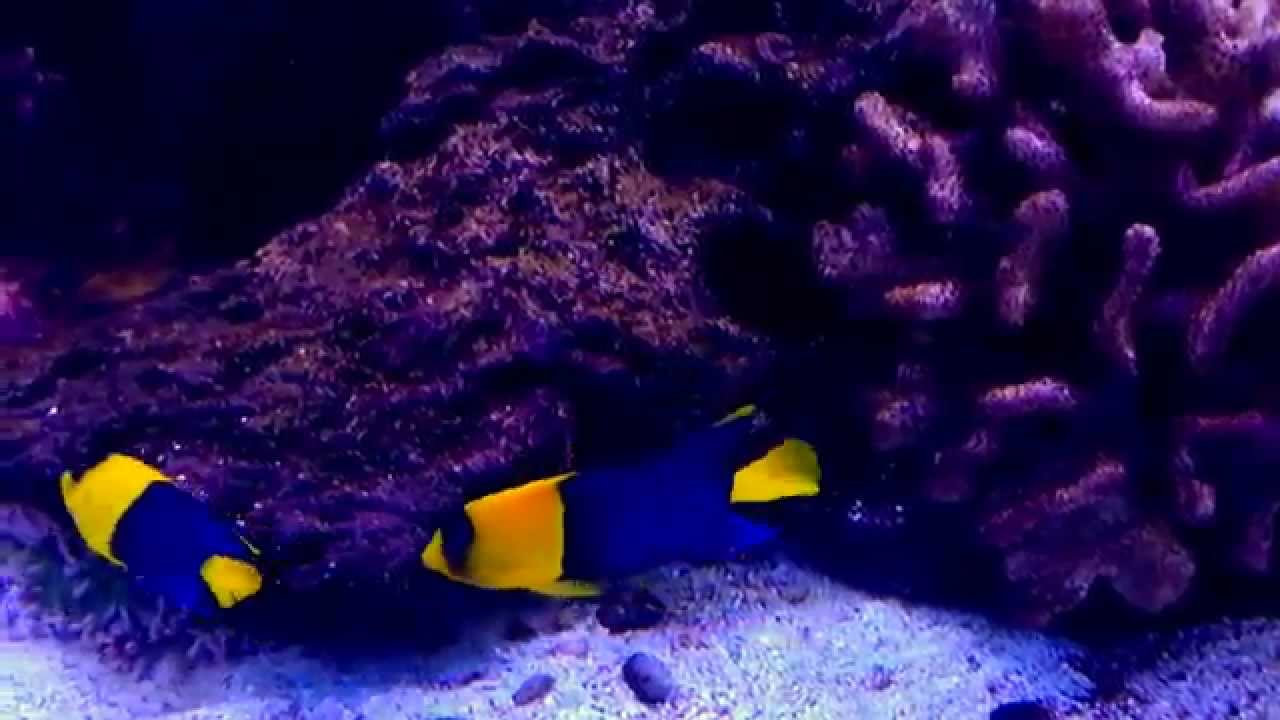 bicolor angelfish centropyge bicolor youtube