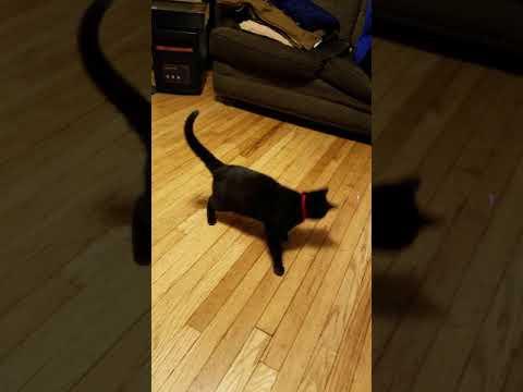 Cat hissing at laser pointer