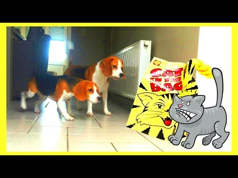 Cute Dogs Pranked by CAT in a BAG! Cute Beagles Louie & Puppy Marie
