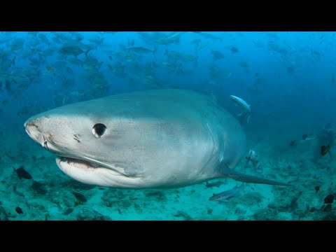 海中で【血抜き】した結果、【サメの大群】に襲撃された件【南の島:海外で魚突き2】