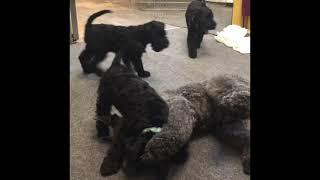 Puppies Kerry blue terrier