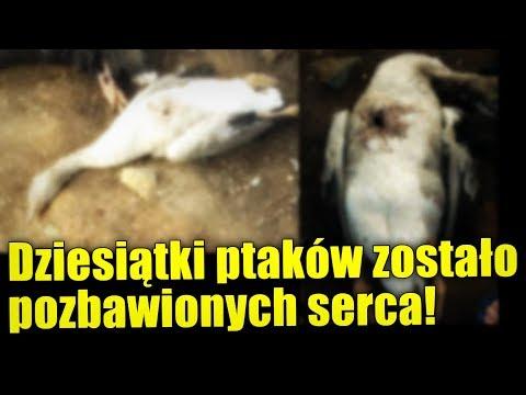 Dziesiątki zwierząt zabitych na brazylijskiej farmie! Czy jest to dzieło Chupacabry?