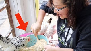 How To Feed Your Pet Chickens!