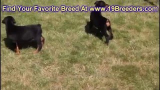 Doberman Pinscher, Puppies, For, Sale, In, Raleigh, North Carolina, Nc, Lumberton, Kernersville, Min