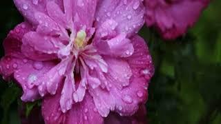 関種子 - 雨に咲く花