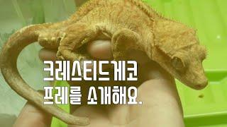 [파충류]크레스티드게코 프레를 소개해요.