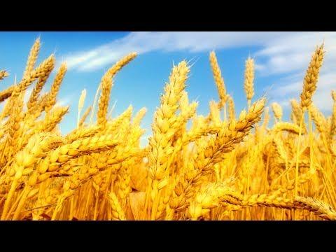 Вопрос: Когда сеют и когда собирают урожай мягкой и твердой пшеницы?