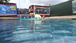 Labrador Retriever Beagle Mix Ajax Surprises His Mom And Dad!
