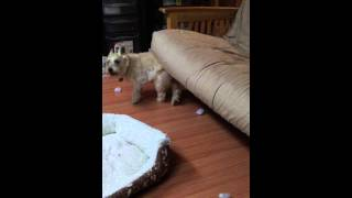 Katie The Cairn Terrier Scratching Her Back