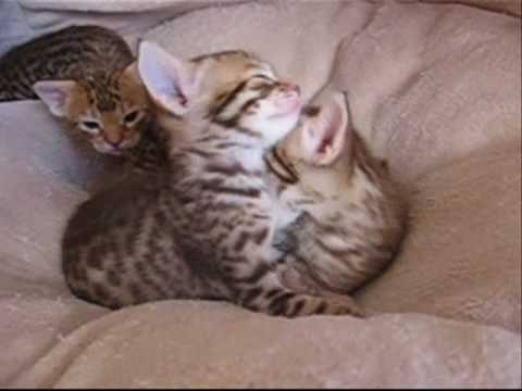 Harski ocicat kittens playing, 3weeks and a half.