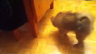 Pomeranian Coughing