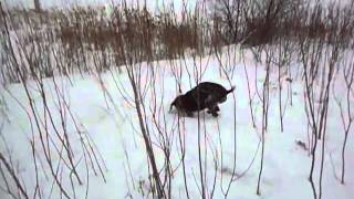 Maddy Digging In The Snow.avi
