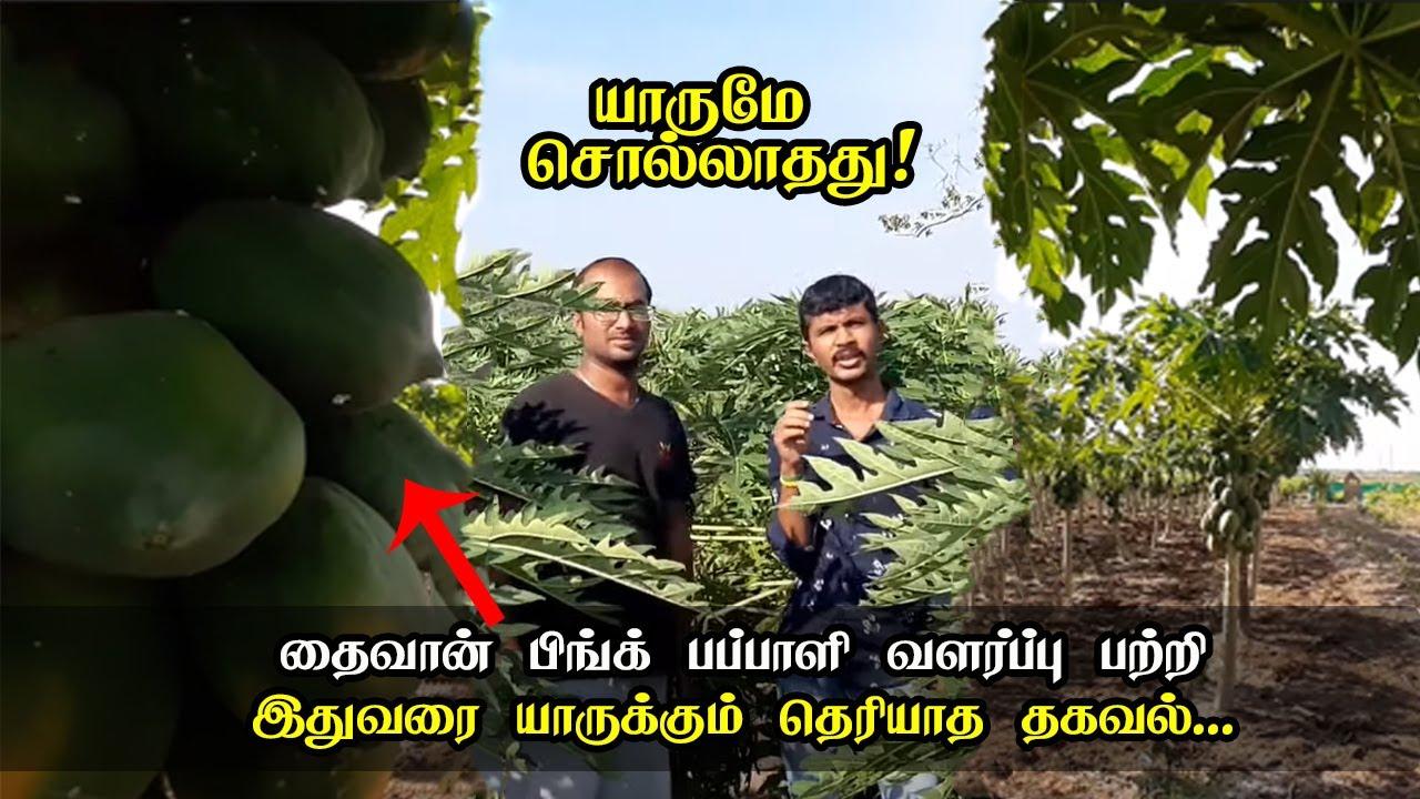 தைவான்  பிங்க் பப்பாளி வளர்ப்பு முறை | Taiwan Pink Papaya Cultivation Method |   Pattikattu Pyapulla