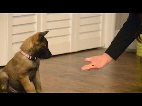 "Belgian Malinois—Mishka—7 weeks old learning ""Center, Roll-Over, Heel"""