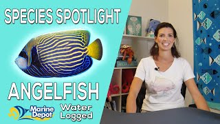 Are Angelfish Reefsafe?  Species Spotlight with Hilary