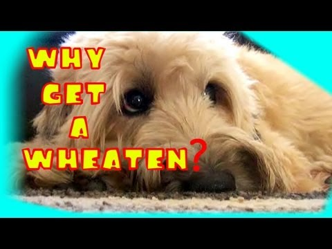 Why Get a Wheaten Terrier?