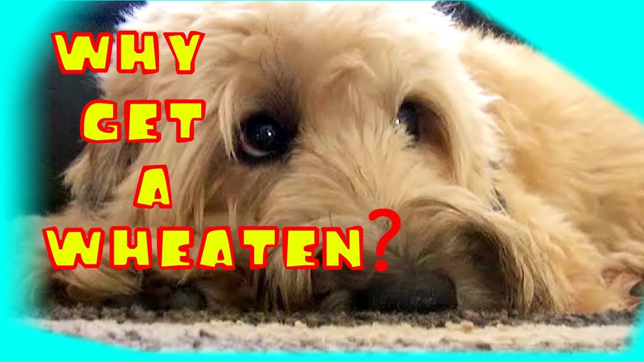 Why Get a Wheaten Terrier? - YouTube