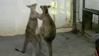 札幌の円山動物園で偶然見かけたカンガルーのボクシング。周りにいた人...