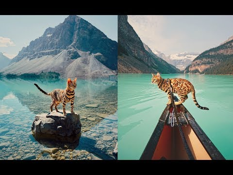 Canadian Traveling Cat Who's Living A Better Life Than You - gorgeous Bengal travelling cat