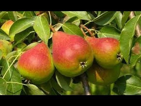 Top 8 Tips on Buying FRUIT TREES.
