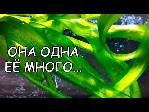 ВАЛЛИСНЕРИЯ ГИГАНТСКАЯ, ЮЖНАЯ, АМЕРИКАНА. СЕКРЕТЫ СОДЕРЖАНИЯ. Vallisneria australis