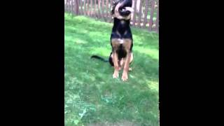 Puppy Pushups. German Shepherd Mix; Dog Trainer Pittsburgh