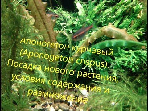 Апоногетон курчавый. Aponogeton crispus