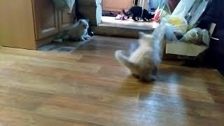 Невская Маскарадная. Котенок рычит на игрушечную добычу.