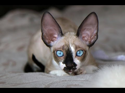 Cornish Rex Cat princess Gaia! Cornish Rex with unbelievable blue eyes!
