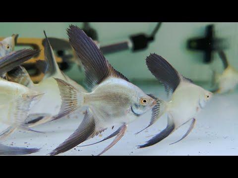 Bulgarian Sealpoint Angel Fish