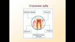 Пищеварение в ротовой полости.AVI