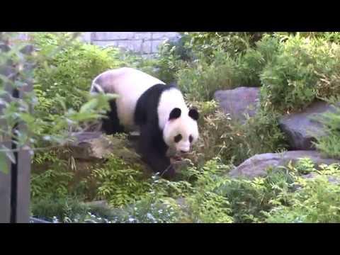 Giant panda couple enjoy life despite hot summer in Australia
