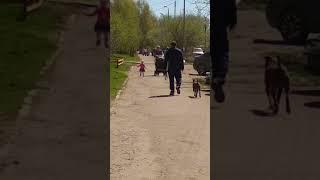 Бойцовские собаки, гуляющие без поводка и ошейника