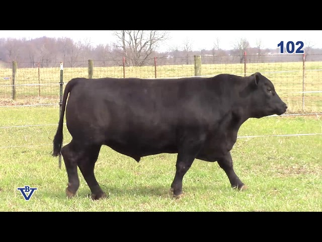 Branch View Angus Lot 102