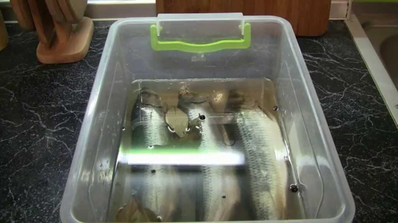 Сельдь пряного посола в домашних условиях(Дневник рыболова)